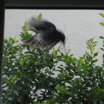 bird flies at glass window